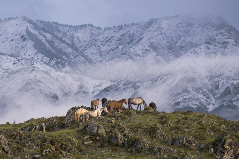 пейзаж, природа, лошади, снег, горы, туман, утро, рассвет Лошади Горного Алтаяphoto preview