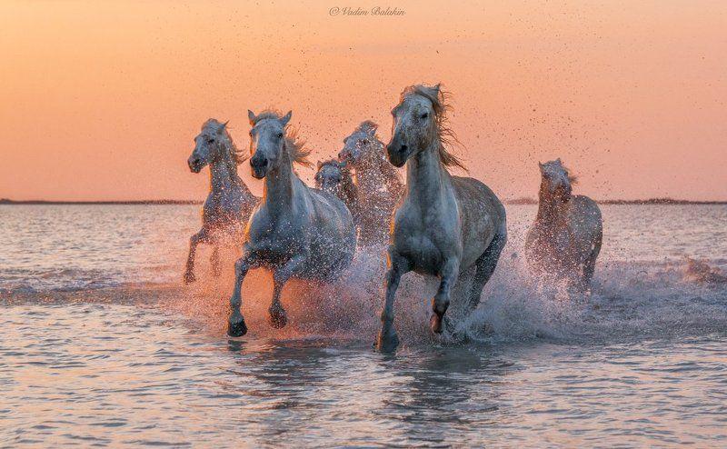 Дикая природа, Дикие животные, Закат, Закатный пейзаж, Лошади, Лошадь, Море, Пейзаж, Прованс, Франция Белые ангелы Камаргаphoto preview