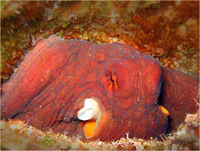 микронезия, палау, подводные съемки, осьминог, портрет Портрет осьминога, дубль 1(единственный)photo preview