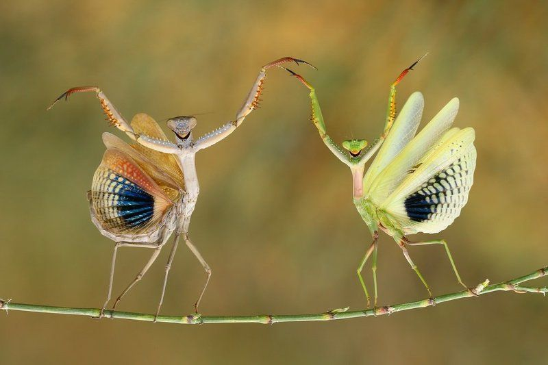 Dancer, North cyprus, Praying mantis, Smiling Show Timephoto preview