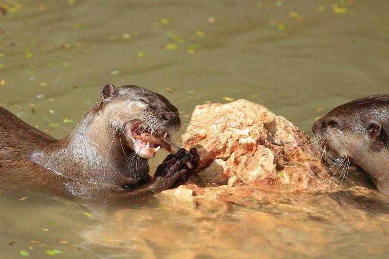 Animals, Otter, Выдра, Животные Нашёл что-то вкусненькое?photo preview