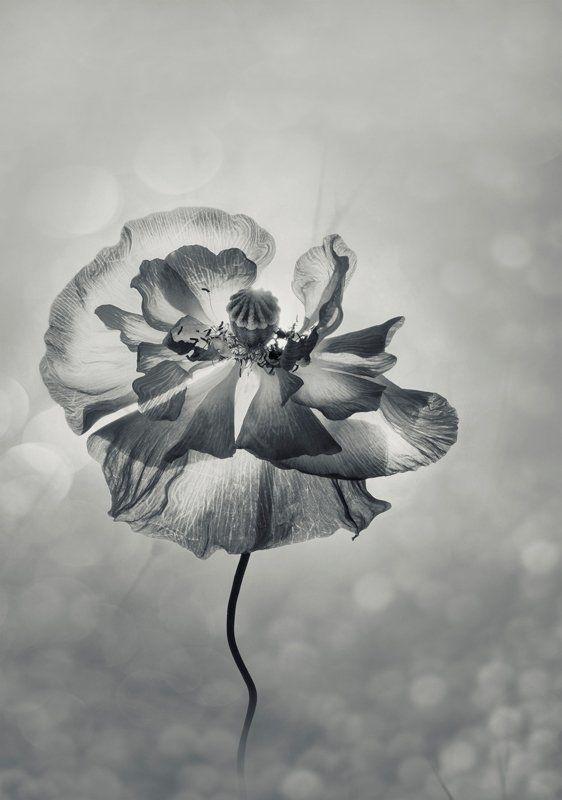 маки, монохром, нежность, природа, флора, цветы Когда нет цвета ... у лета...photo preview