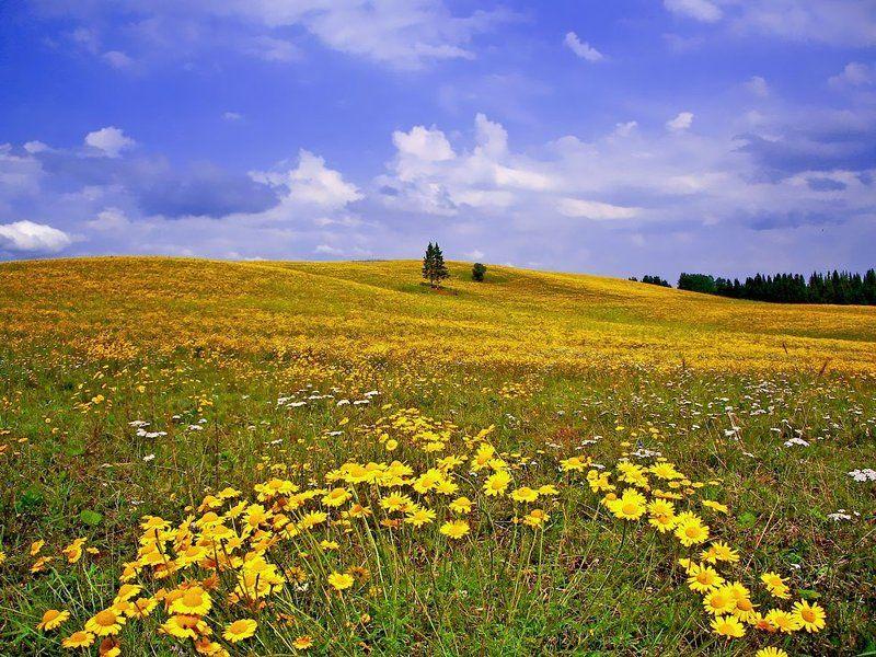 ромашки,пейзаж,небо,лето,удмуртия Пейзаж с желтыми ромашкамиphoto preview