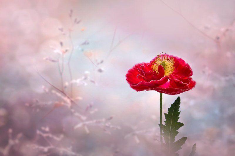 Лето, Маки, Настроение, Природа, Флора, Цветы Мгновения прошедшего лета...photo preview