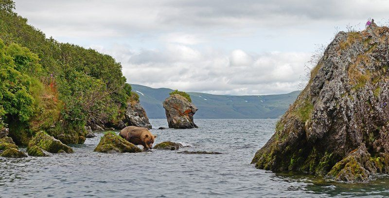 Бурый медведь, Курильское озеро, Сибирский пепельный улит А сверху виднееphoto preview