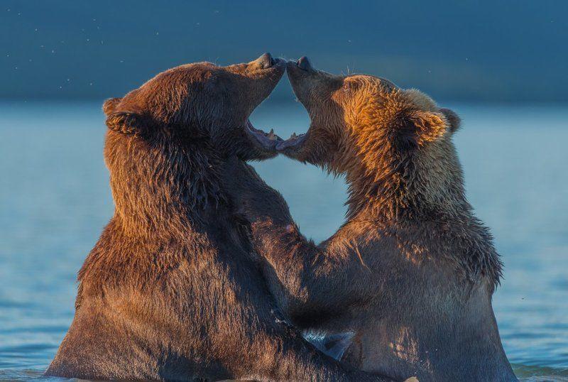 Бурый медведь, Дикая природа, Дикие животные, Камчатка, Курильское озеро, Медведи, Медведь, Россия, Южно-камчатский заказник Из Камчатки с любовью...photo preview