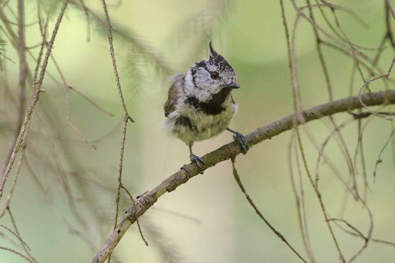 гренадерка, хохлатая синица, птицы Летние гренкиphoto preview