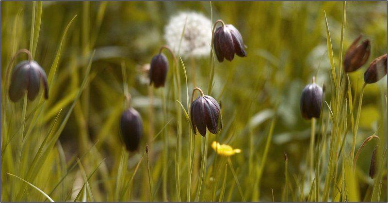 дон, лагутник, ростов-на-дону, цветы, луг, весна, дельта Черные тюльпаныphoto preview