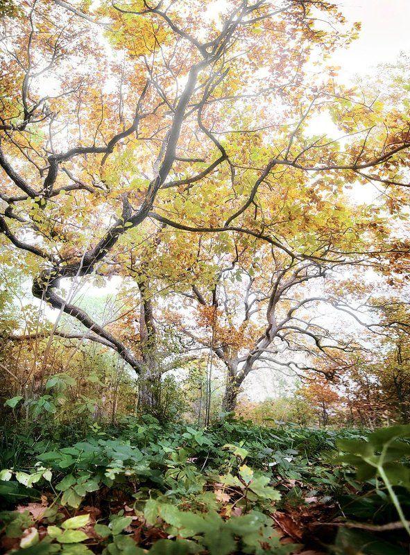 сергиевский сад, петергоф, осень, дуб Сергиевский сад.photo preview