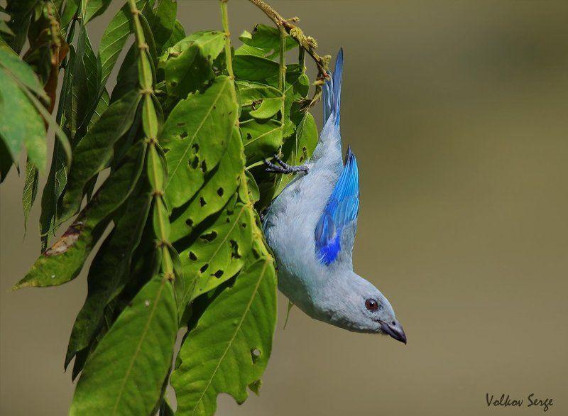 дикая природа, дикие животные, птицы, танагра, Акробатphoto preview