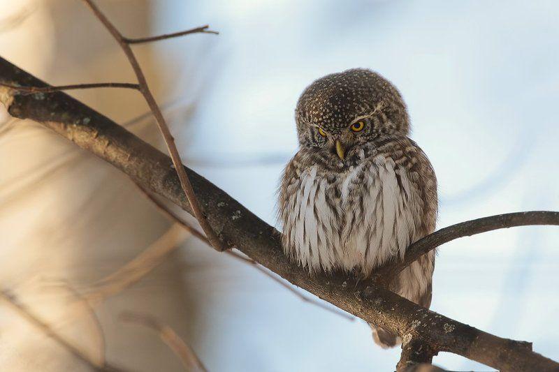 птицы, воробьиный сычик, Маленький сычикphoto preview