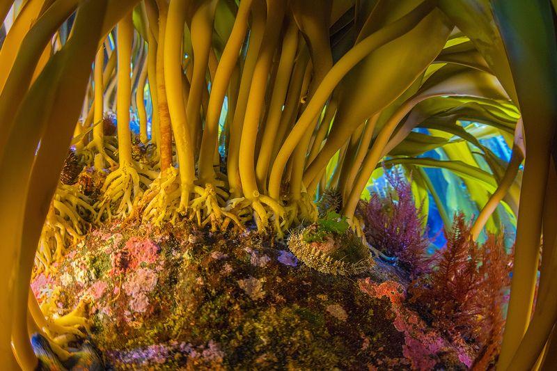 подводное фото, монерон, сахалин, underwater Волшебный лесphoto preview