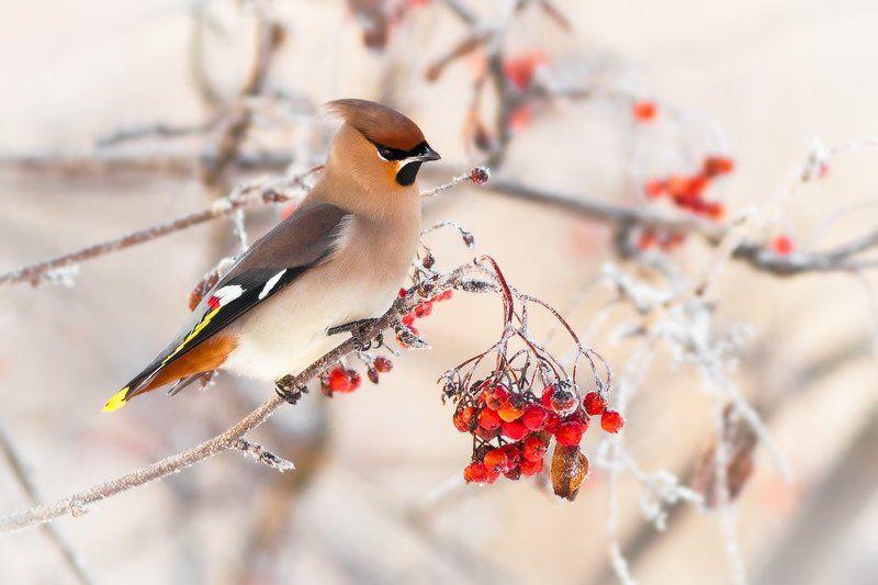 waxwing, Bombycilla garrulus, bird, winter, Kharkiv Зимний свиристельphoto preview