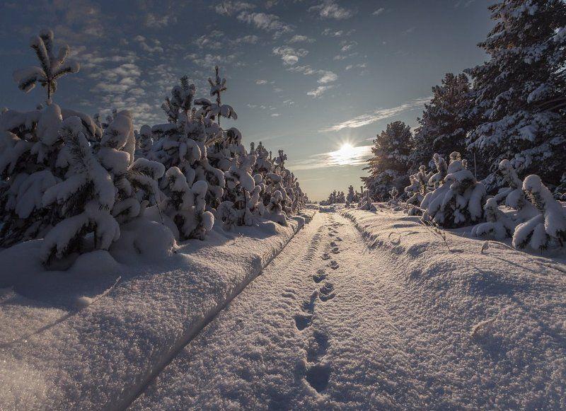 Лес сосны тропинка снег сугробы следы зима солнце Морозные следыphoto preview