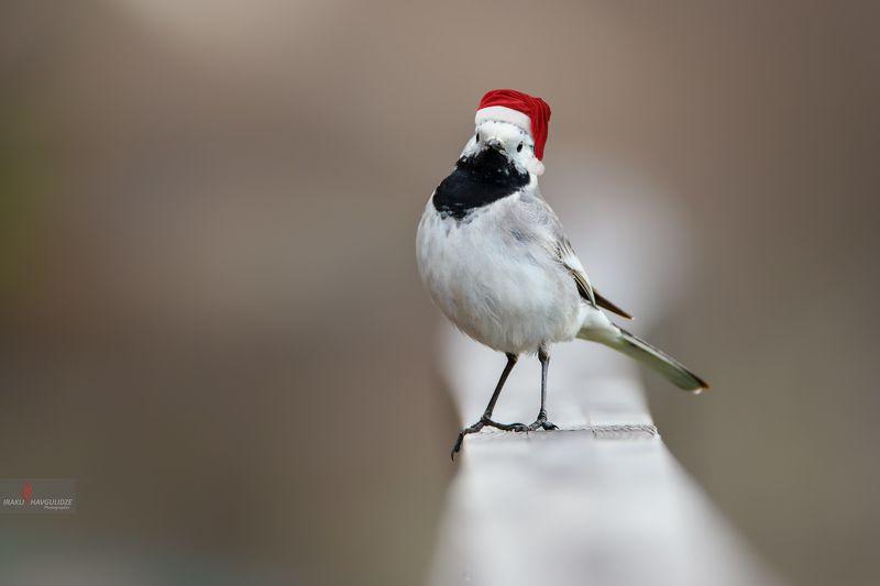 трясогузка, птица, никон, тамрон, новый год, настроение С Новым Годом!photo preview