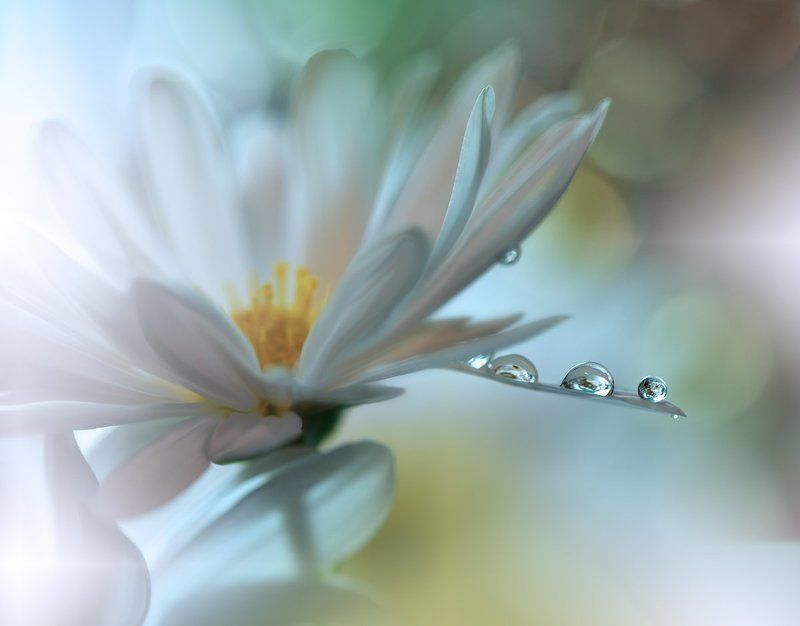macro,closeup,nikon,flower,drops,water,white,daisy,nature,wallpaper,background, Light Touch...photo preview