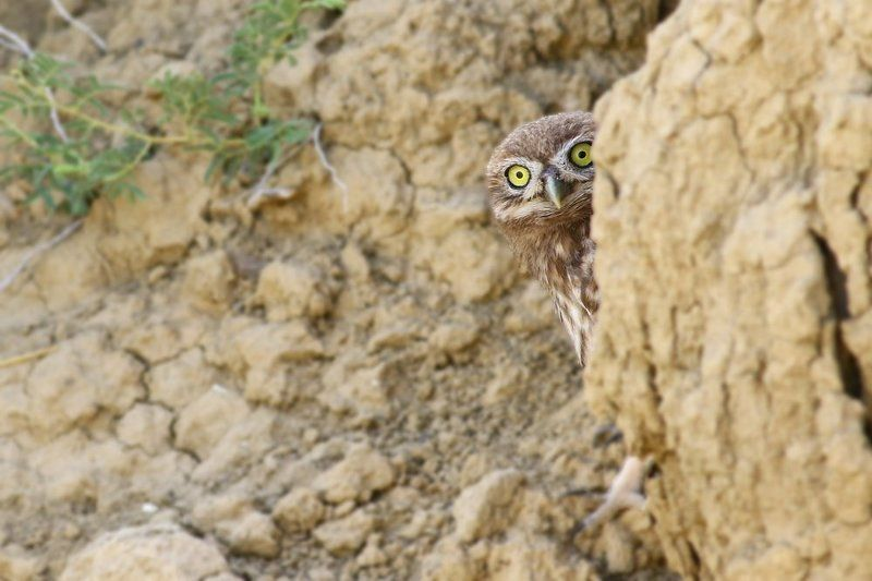 little,owl,birds,northcyprus,wildlife,nature Shyphoto preview