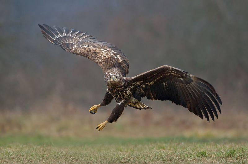 white-tailed eagle,  sea eagle, eagle я вижу тебяphoto preview