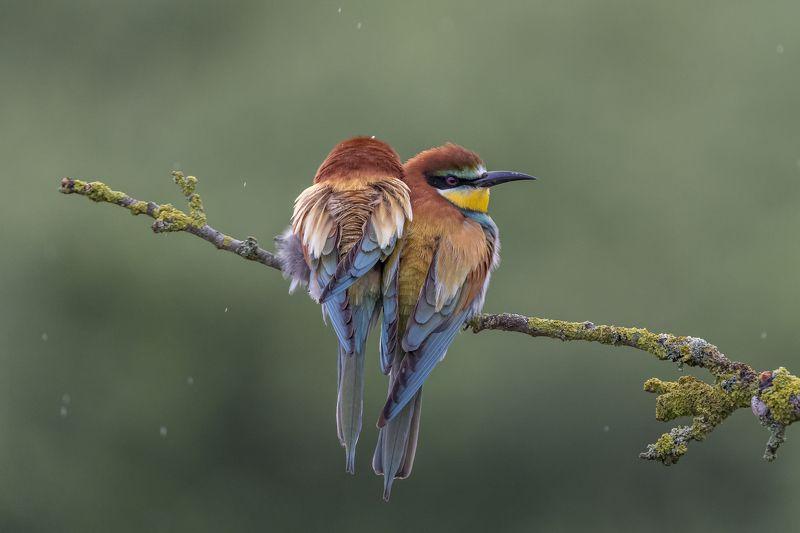 European Bee-eater, Merops apiaster, Birder\'s Corner European Bee-eatersphoto preview