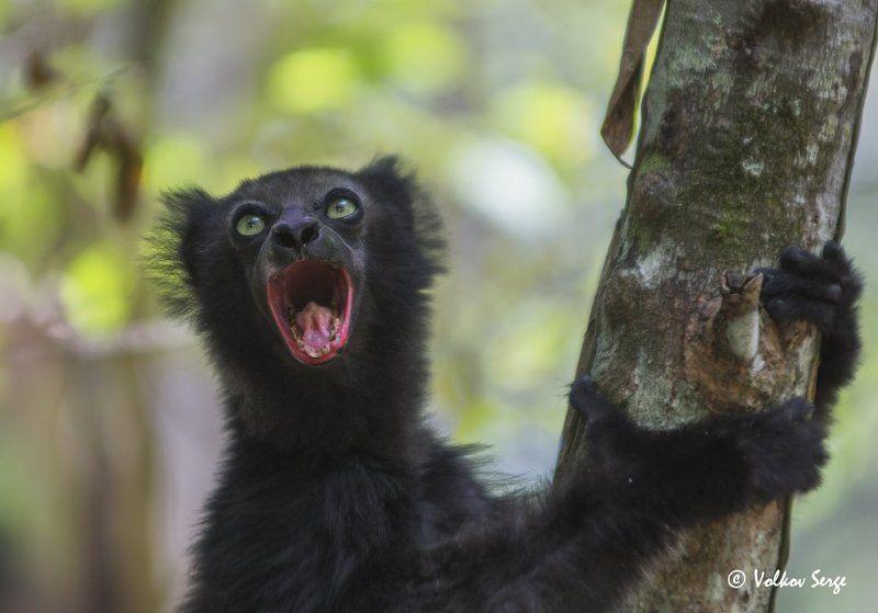 мадагаскар, лемуры, индри, wildlife,фотоохота, дикая природа, дикие животные, indri indri, Ща спою!photo preview