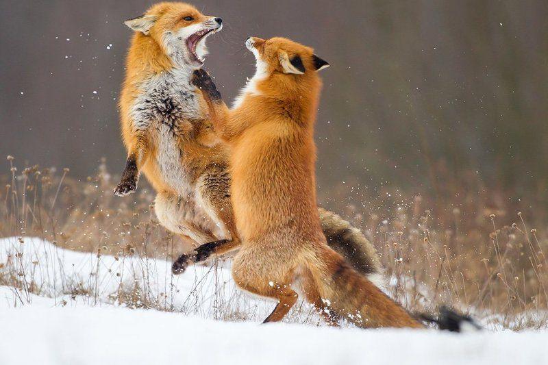 Fox dancephoto preview
