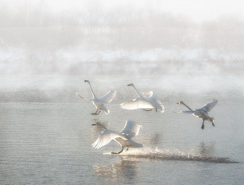 Лебеди, Рассвет,Озеро Мягкая посадкаphoto preview