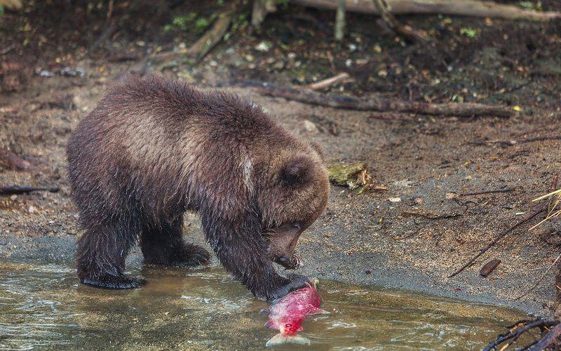 Медведь, Камчатка Уловphoto preview