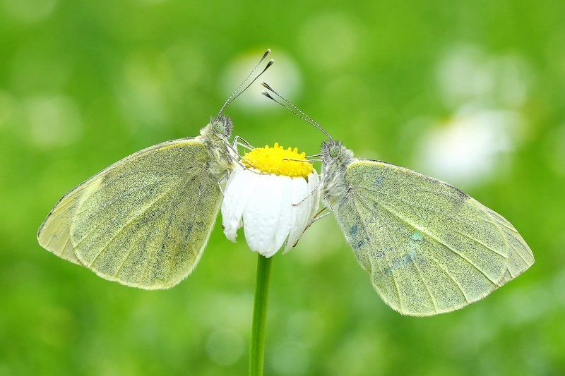 butterflies,of,cyprus,macro,nature,large white Symmetryphoto preview