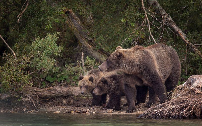 Медведь, Камчатка 3 медведяphoto preview