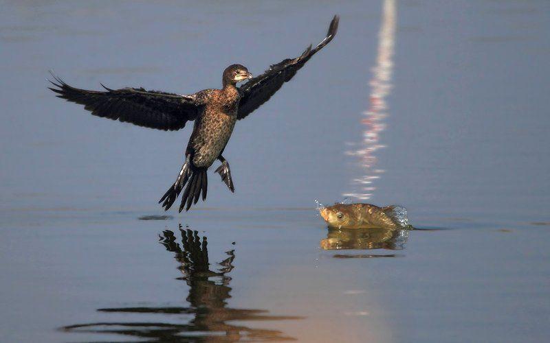 animals,birds,kormoran,fish,7d,600mm, животные,птицы,рыба О том, как карп баклана встречал..photo preview