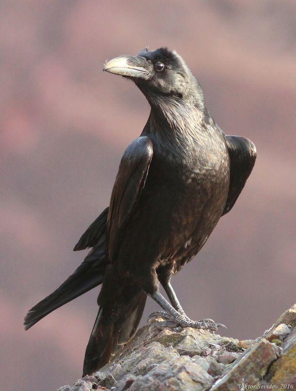 Ворон.(лат. Corvus corax)photo preview