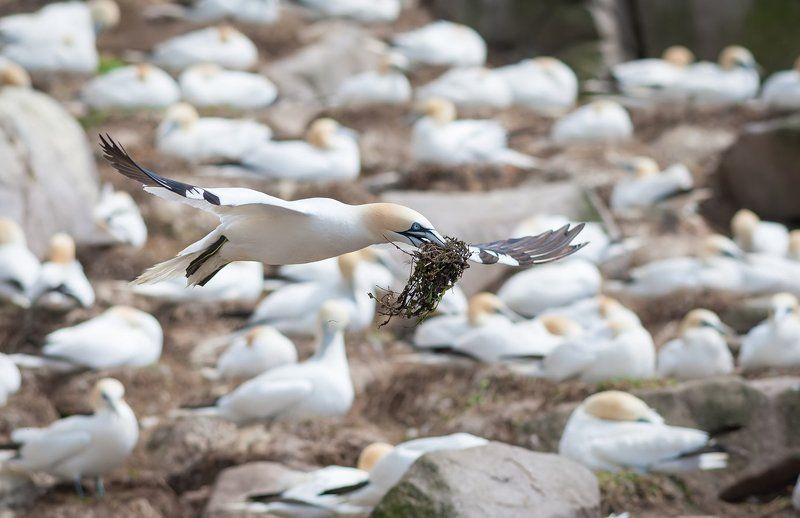 gannet Gannet with a nesting materialphoto preview
