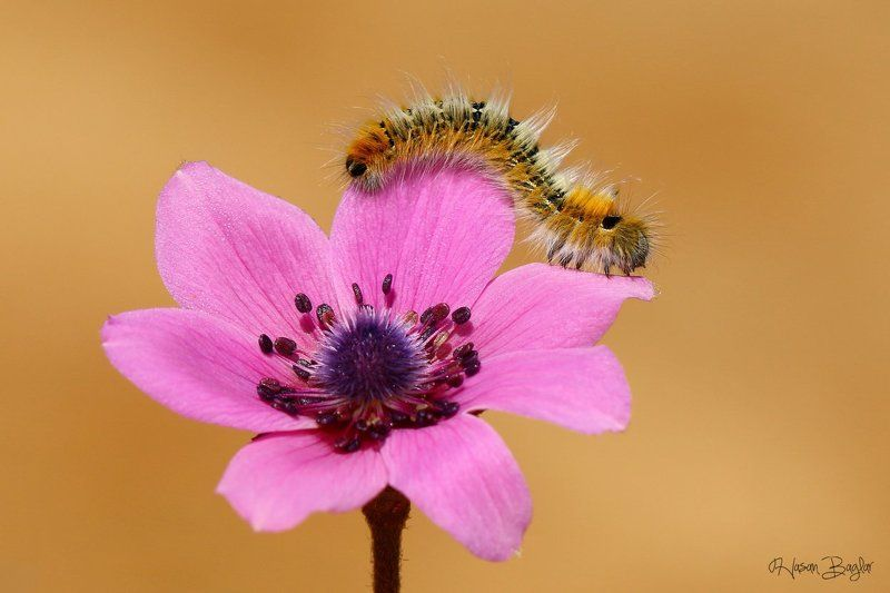 caterpillar,anemone,pink,macro,nature,cyprus Runwayphoto preview