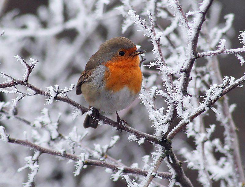 Зарянка одним туманным зимним утром.photo preview
