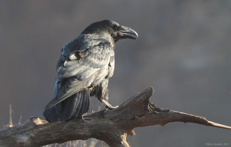 Ворон. (лат. Corvus corax)photo preview