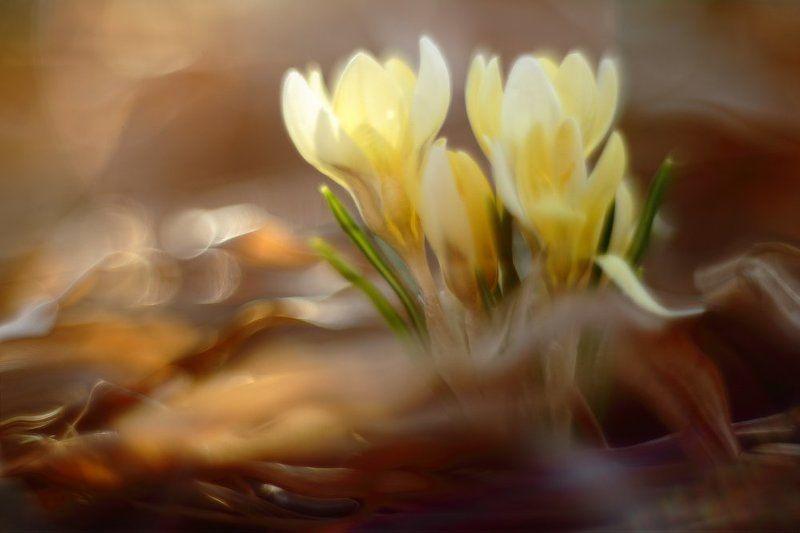 весна солнце цветы крокус Діти сонця.photo preview