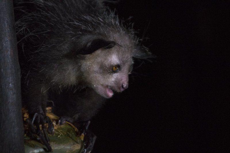 руконожка, ай-ай, daubentonia madagascariensis, лемуры, мадагаскар, дикие животные, дикая природа Красота - страшная сила!photo preview