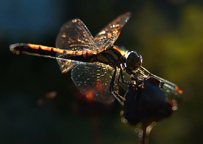 wake,macro,easter,eleven,light,sony,moment,detail, Libelle ©photo preview