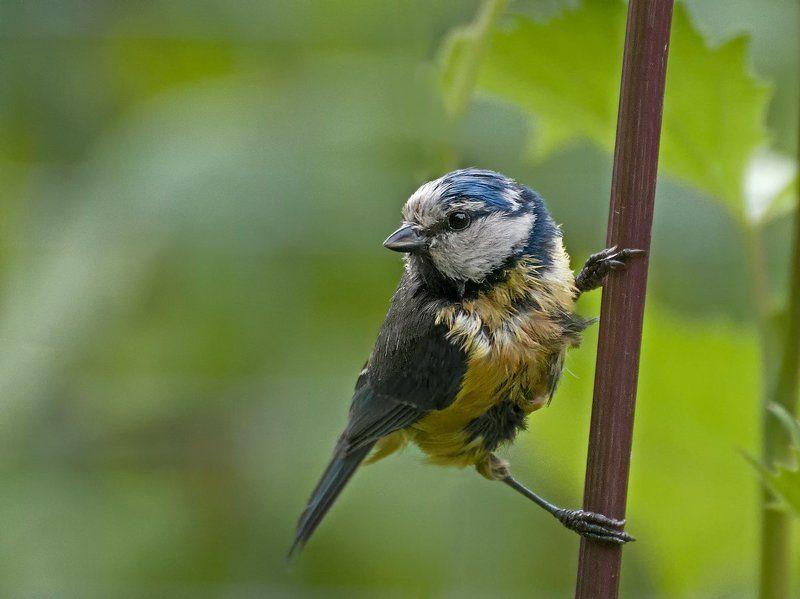 лазоревка, синица, птица Растрёпаphoto preview