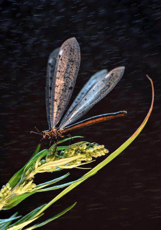 макро, байкал, муравьиный лев Ночной левphoto preview