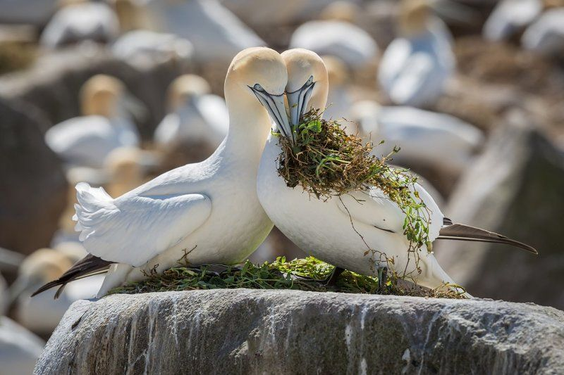 gannets Making a homephoto preview