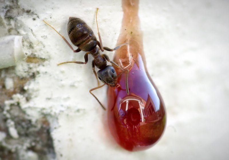 макро, муравей Автопортрет с муравьёмphoto preview