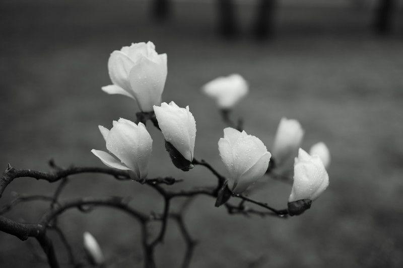 magnolia, white, flower, spring, rainy day, korea, seoul, water drops, Magnoliaphoto preview