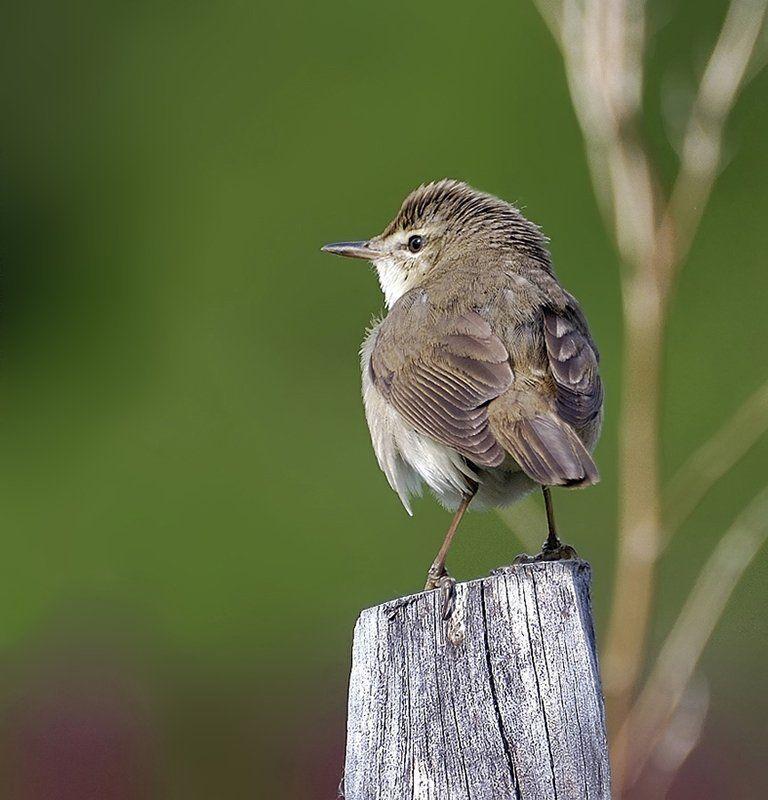 птица,болотная камышевка Обернись!photo preview