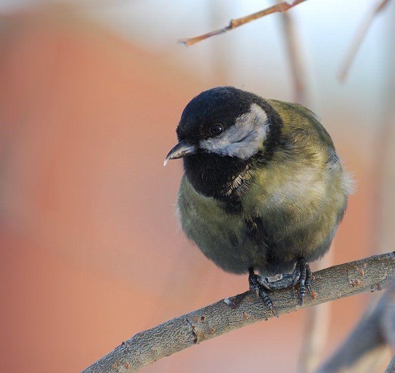 природа,птица,синица Портрет синицы...photo preview