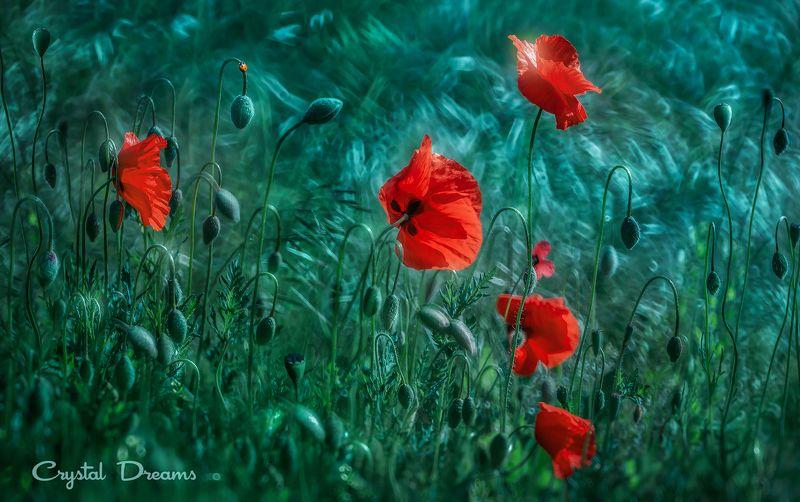 crystal dreams, macro, spring, color, art, nature, wild, meadow, poppies \