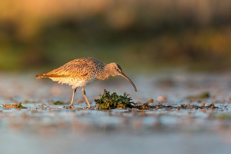 curlew, mkkaczy, ireland Curlewphoto preview