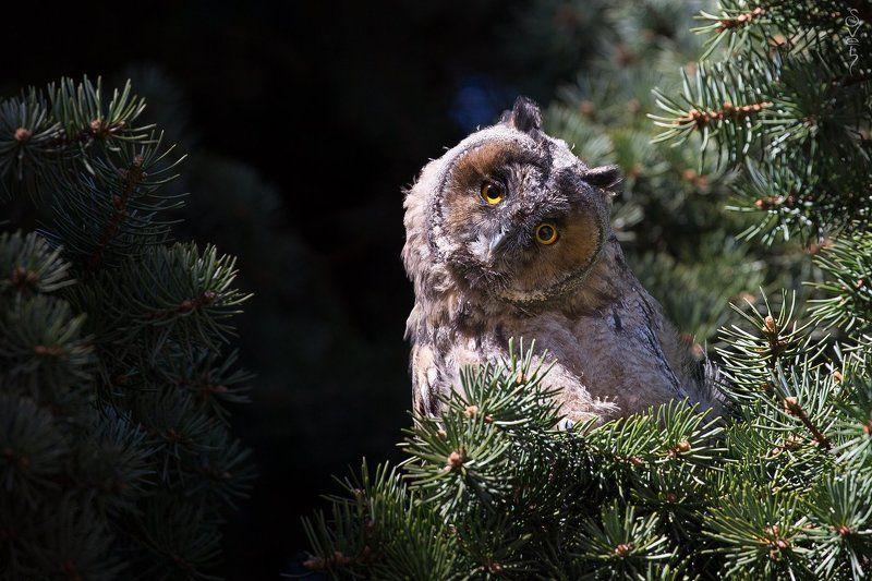 ушастая сова глазастое любопытствоphoto preview