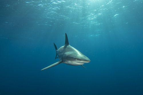 Акула в лучах