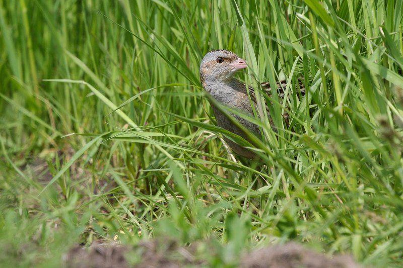 коростель, птицы, подмосковье Птичка певчая или тот, кто орет в траве.photo preview